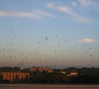 stormi di uccelli 5